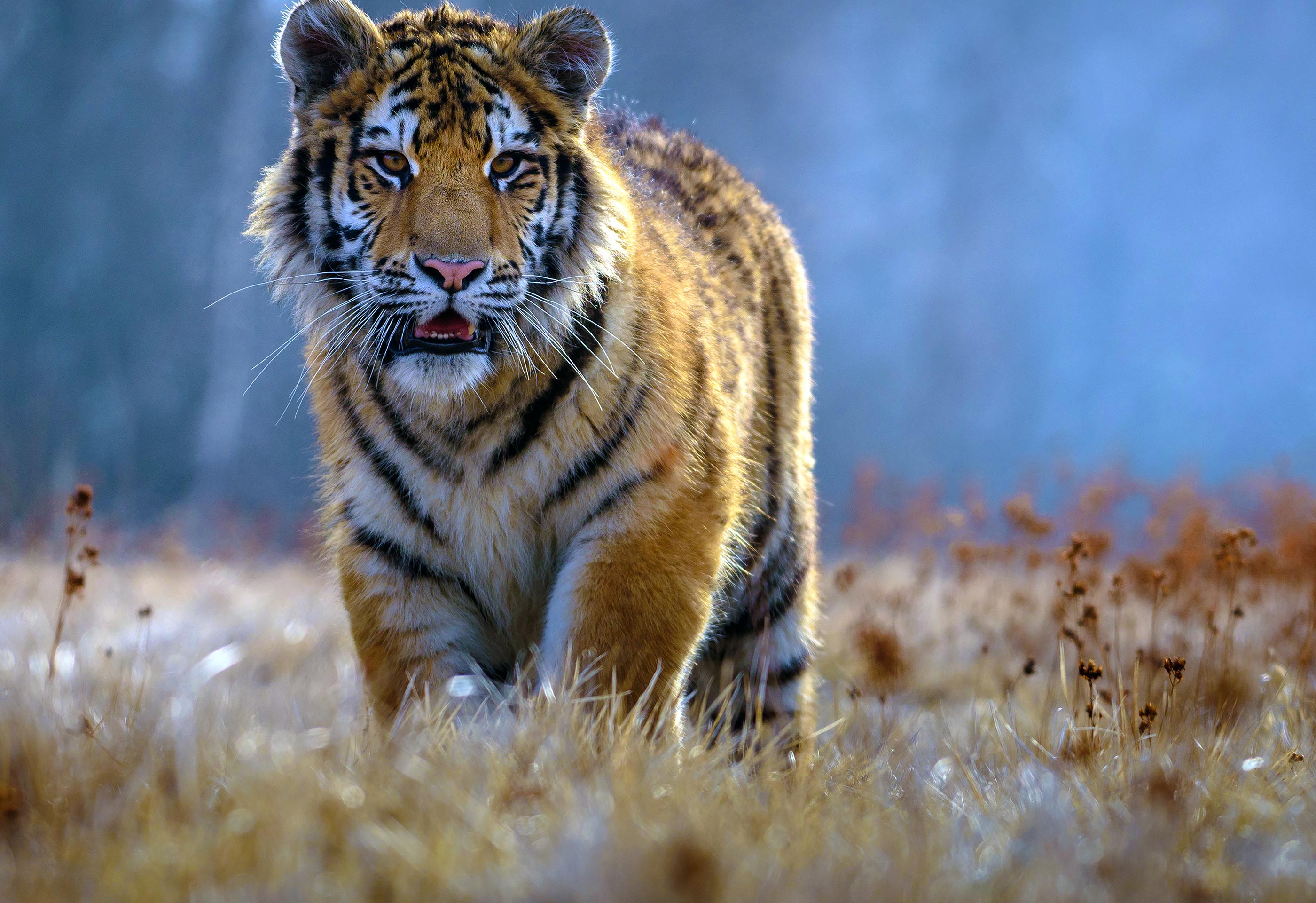Tigre en un campo (Shutterstock)