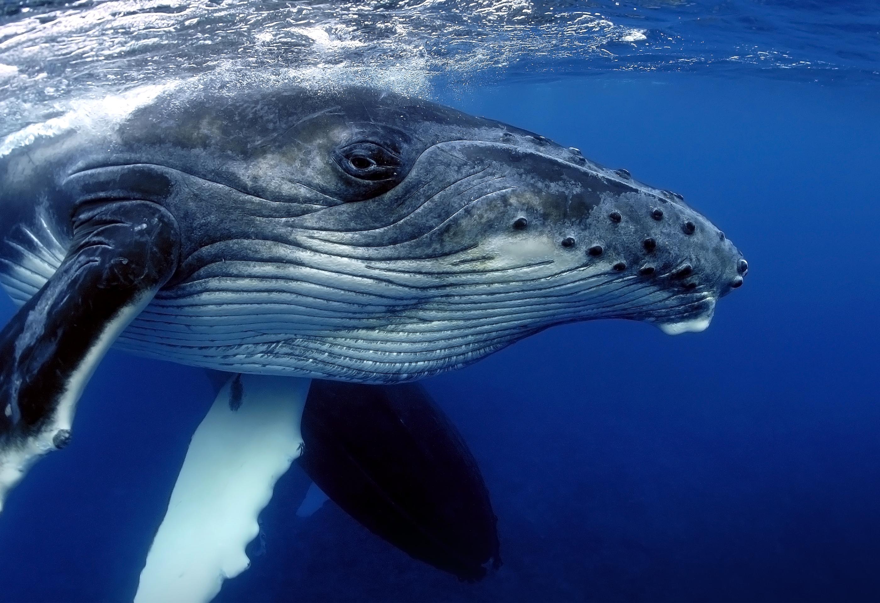 Ballena en el agua (Shutterstock)