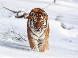 Amur tiger in the snow (© Aaron Barnes/Alamy)