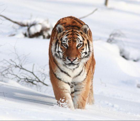 Amur tiger in the snow (© Aaron Barnes/Alamy)
