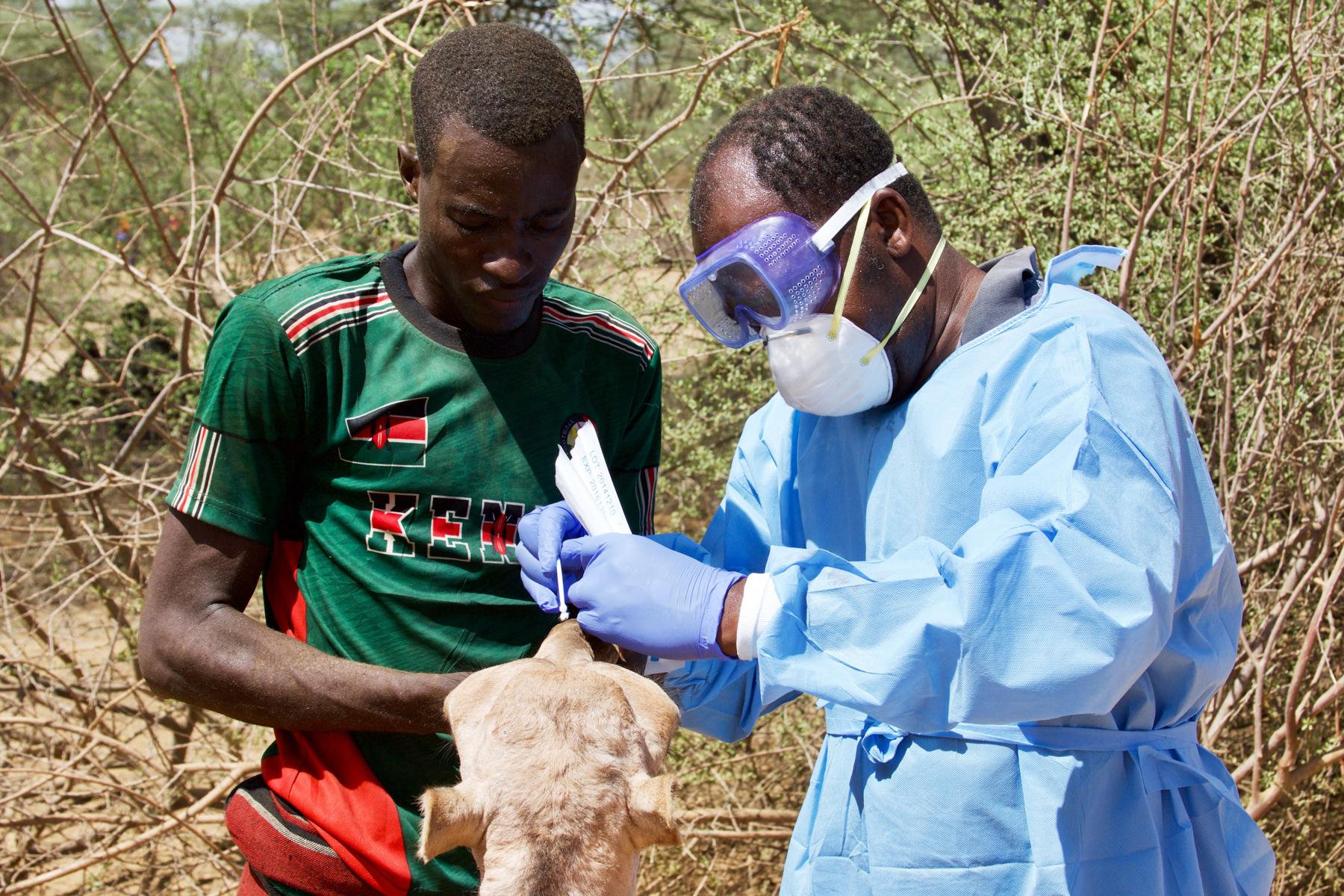 Two men taking samples from a camel's nose (PREDICT/Kenya)