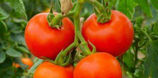 Tomates en grappe (Hung Vu/USAID)