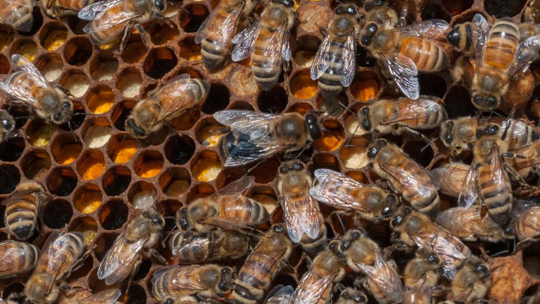 Bees on a honeycomb (© Alamy/USDA)