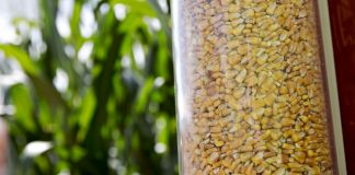 Corn kernels in a glass container in front of corn stalks (© Daniel Acker/Bloomberg/Getty Images)