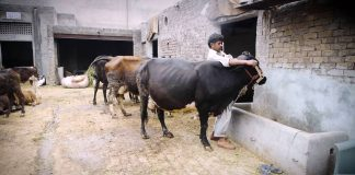Man placing collar on cow (U.S. Educational Foundation in Pakistan)