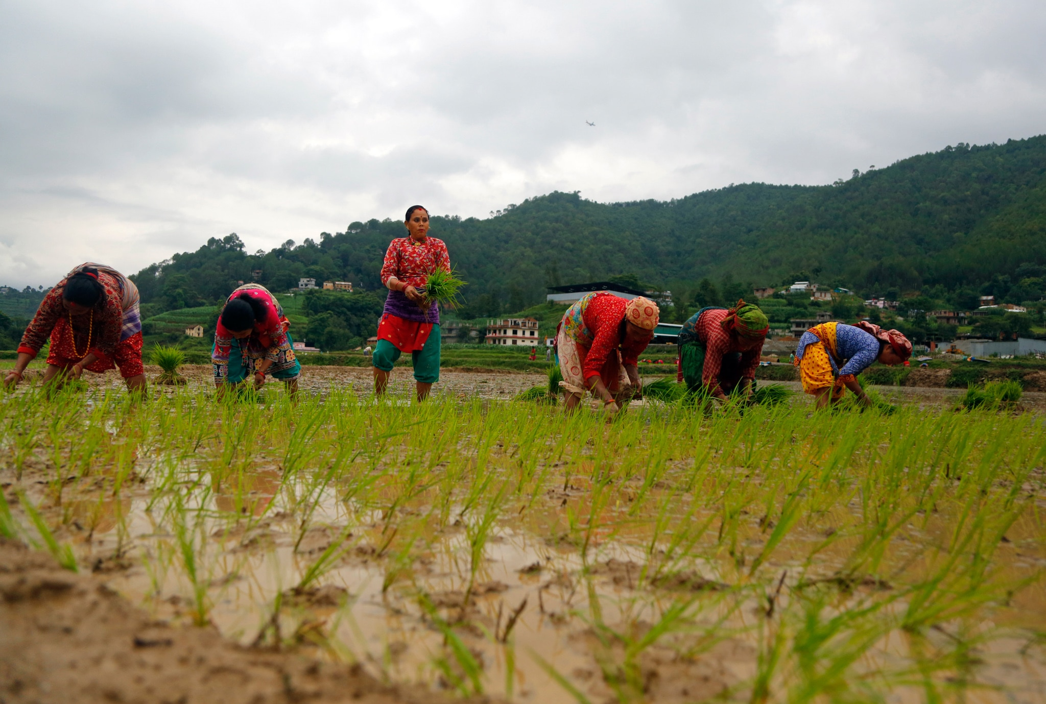 One person standing and holding plants as five others bend over the ground in a wet field (© Niranjan Shrestha/AP Images)