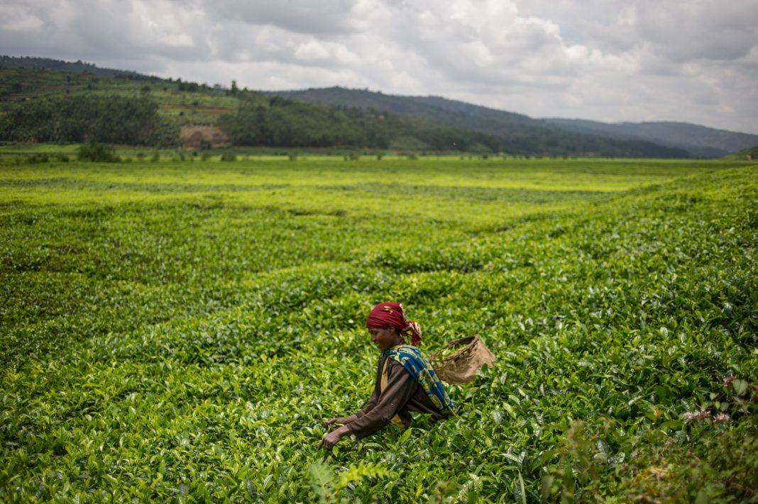 Woman in tea field picking tea leaves (© Phil Moore/AFP/Getty Images)