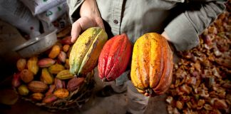 Hands holding three large cacao pods (Justin Mott/Marou)