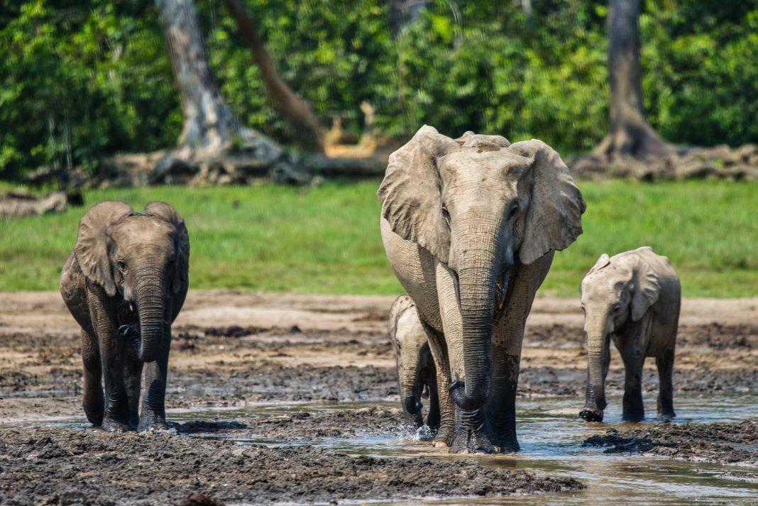 Elephants in the wild (© Ana Verahrami/Cornell University)