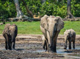Gajah di Suaka Margasatwa Dzanga-Sangha di Republik Afrika Tengah pada 2018. (© Ana Verahrami/Elephant Listening Project)