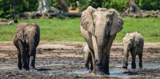 Trois éléphants dans la nature (© Ana Verahrami/Elephant Listening Project)
