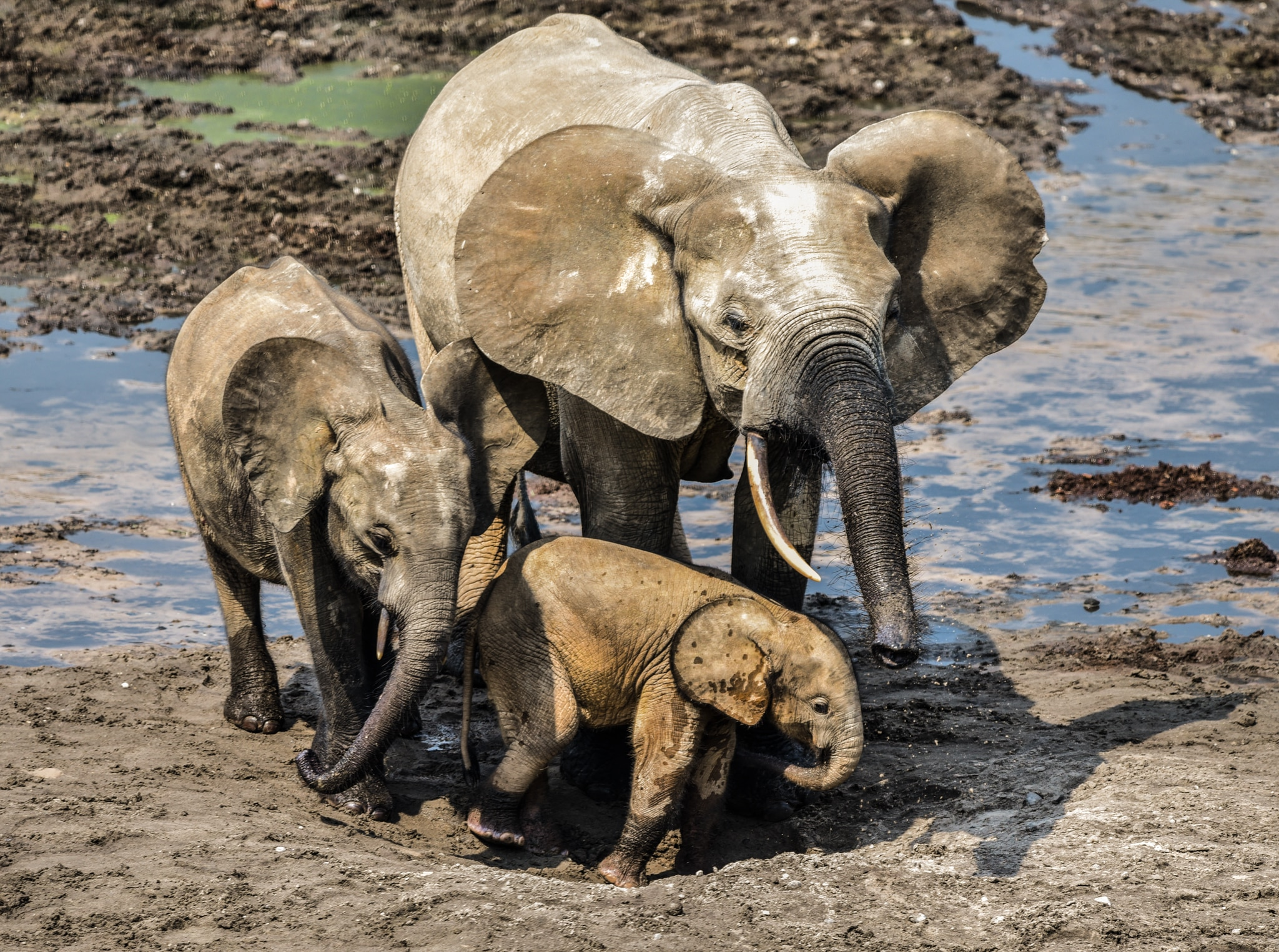 One large and two small elephants at watering hole (© Ana Verahrami/Elephant Listening Project)