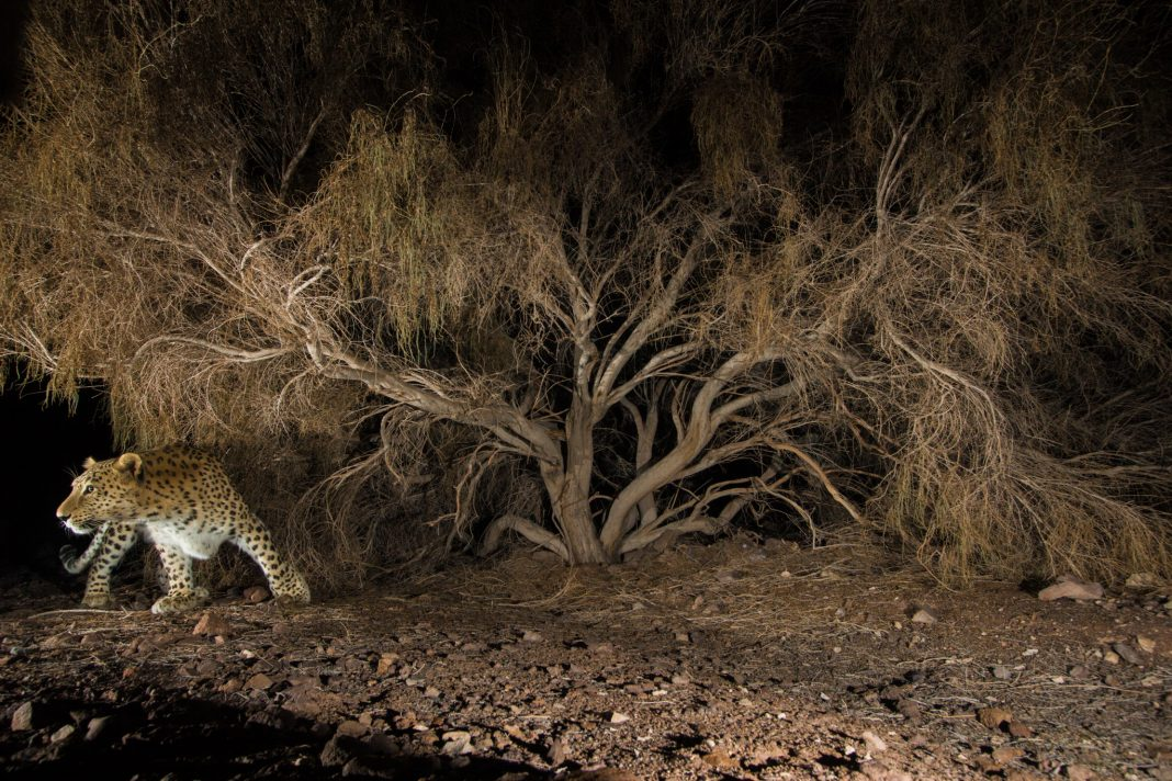 Persian leopard at night (© Frans Lantinh, National Geographic Creative)