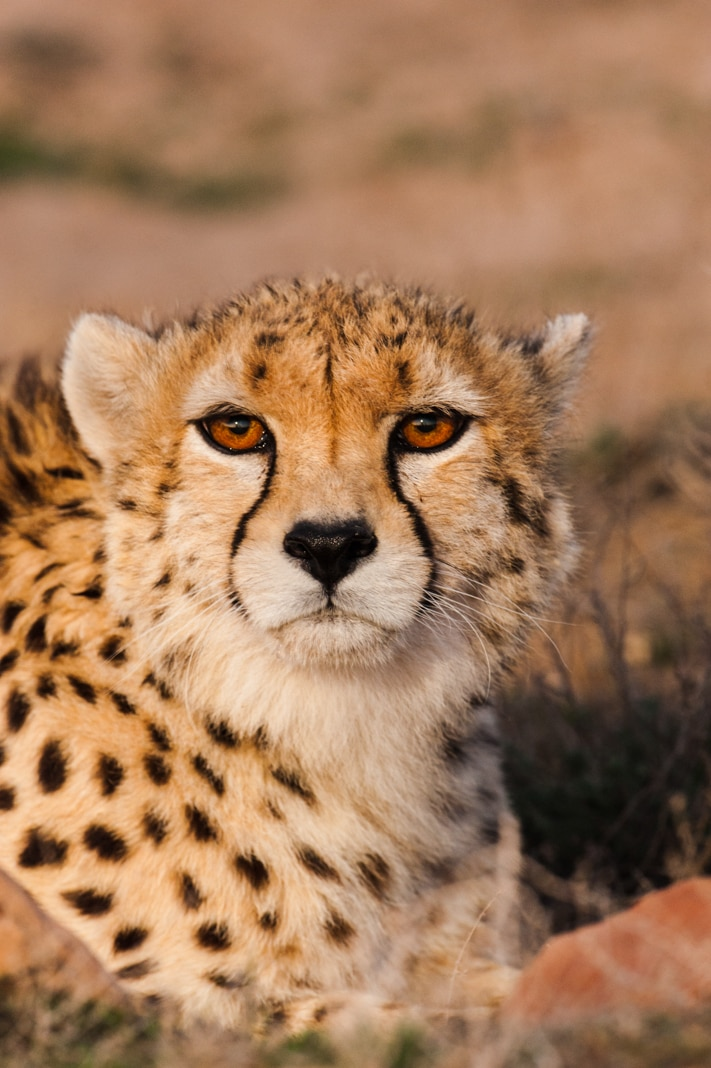 Close-up of Asiatic cheetah (© Frans Lanting/National Geographic Creative)