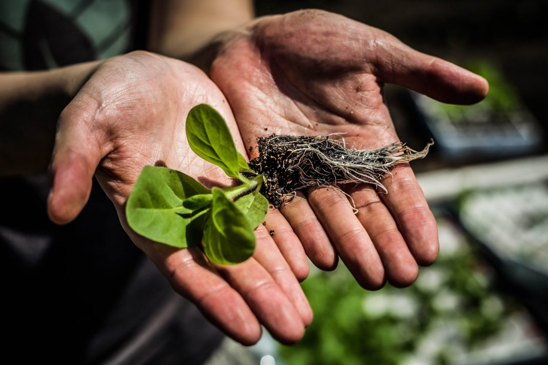 Hands outstretched, holding tobacco seedling (L. Brian Stauffer/University of Illinois)