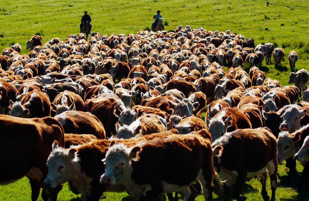 Un troupeau de vaches dans une prairie avec deux personnes à cheval à l'arrière-plan (© Alexandre Meneghini/AP Images)