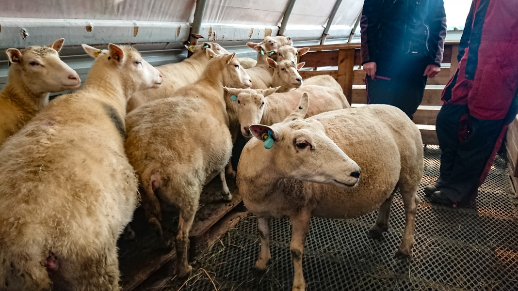 A group of sheep in a building with people standing next to them (© Oscar Hovde Berntsen)