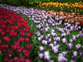 Plantação de tulipas (© Dean Mouhtaropoulos/Getty Images)