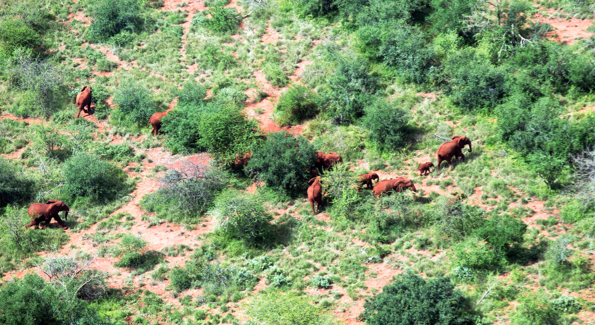 Many elephants moving past trees, seen from above (© AOPA)
