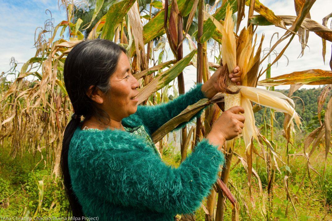 Une femme en train de récolter du maïs (Ana Christina Chaclán/Buena Milpa Project)