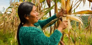 Woman harvesting corn (Ana Christina Chaclán/Buena Milpa Project)