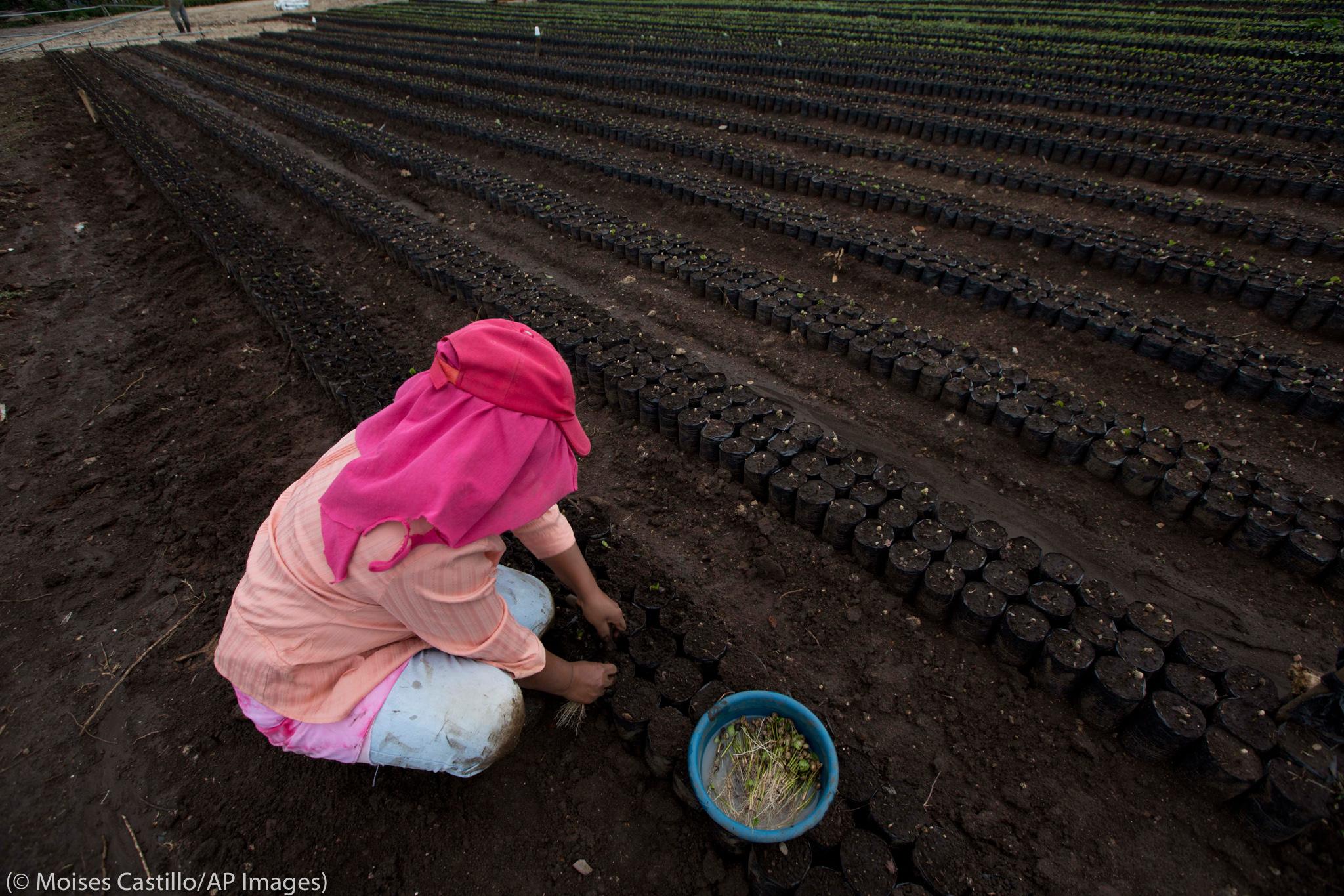 Une femme en train de planter des plants de caféiers dans un champ (© Moises Castillo/AP Images)