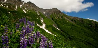 Wildflowers on mountainside (NPS/James Pfeiffenberger)
