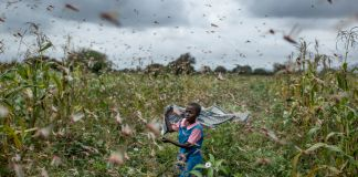 Young girl chasing locusts away from field by waving shawl (© Ben Curtis/AP Images)