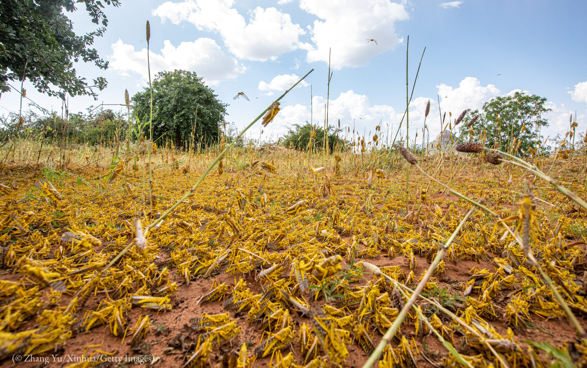 Locusts covering ground with sparse and dying plants (© Zhang Yu/Xinhua/Getty Images)