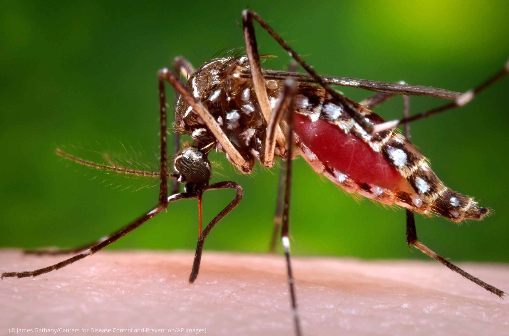 انسانی خون پیتے ہوئے مچھر کی قریب سے لی گئی تصویر۔ (© James Gathany/CDC/AP Images)