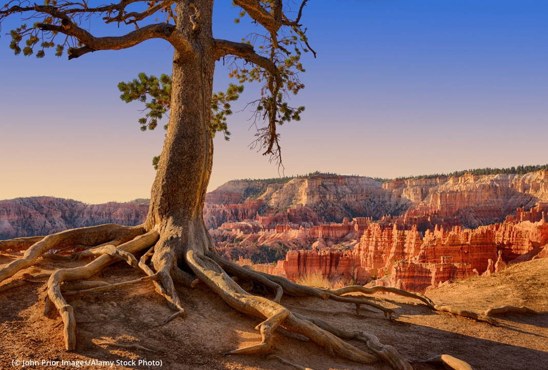Un grand pin au bord d'un canyon aux couleurs orangées (© John Prior Images/Alamy Stock Photo)