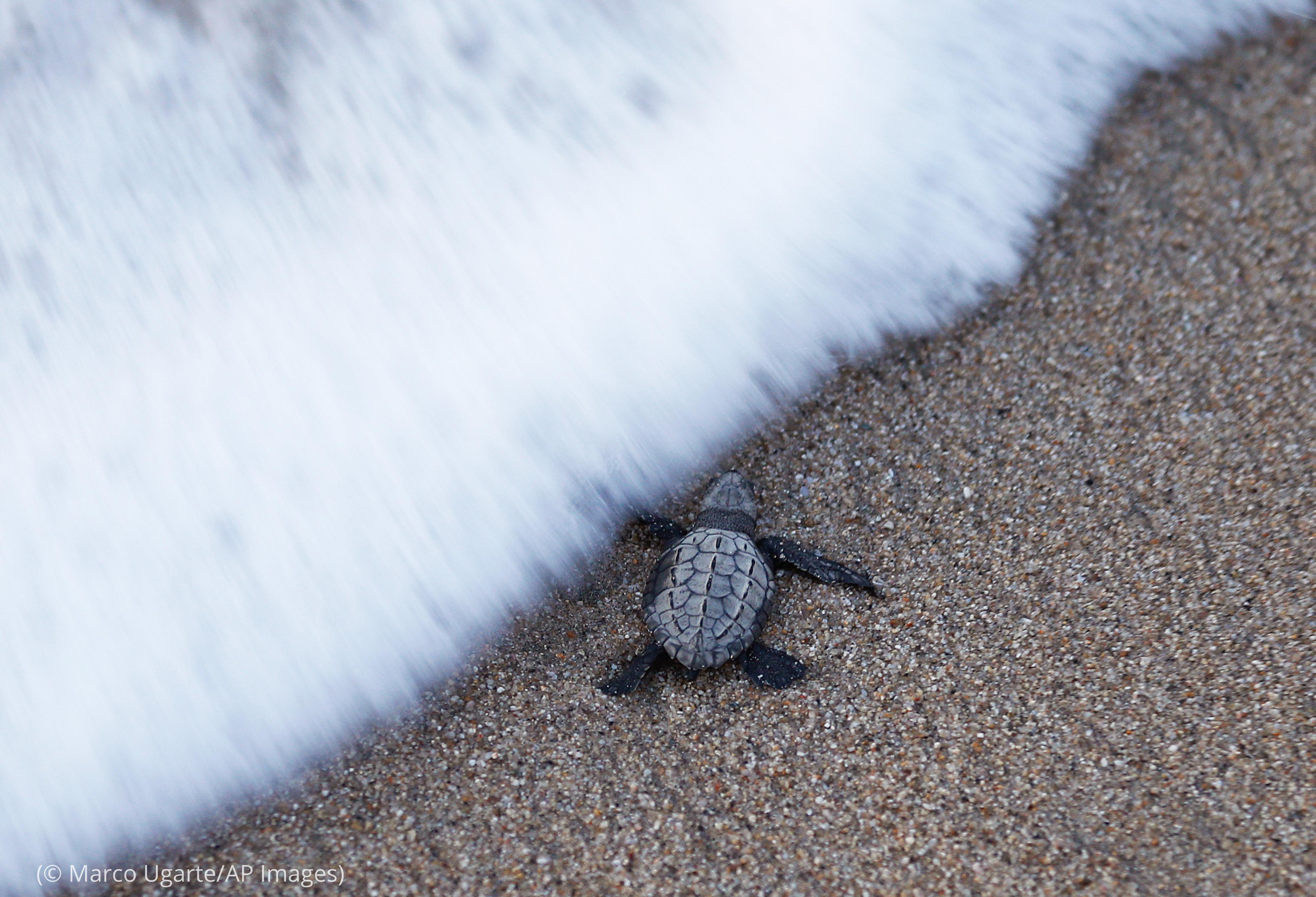 Filhote de tartaruga marinha entrando no mar (© Marco Ugarte/AP Images)