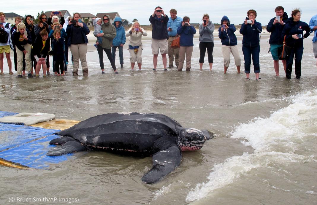 Pessoas assistindo tartarugas marinhas retornando à água (© Bruce Smith/AP Images)
