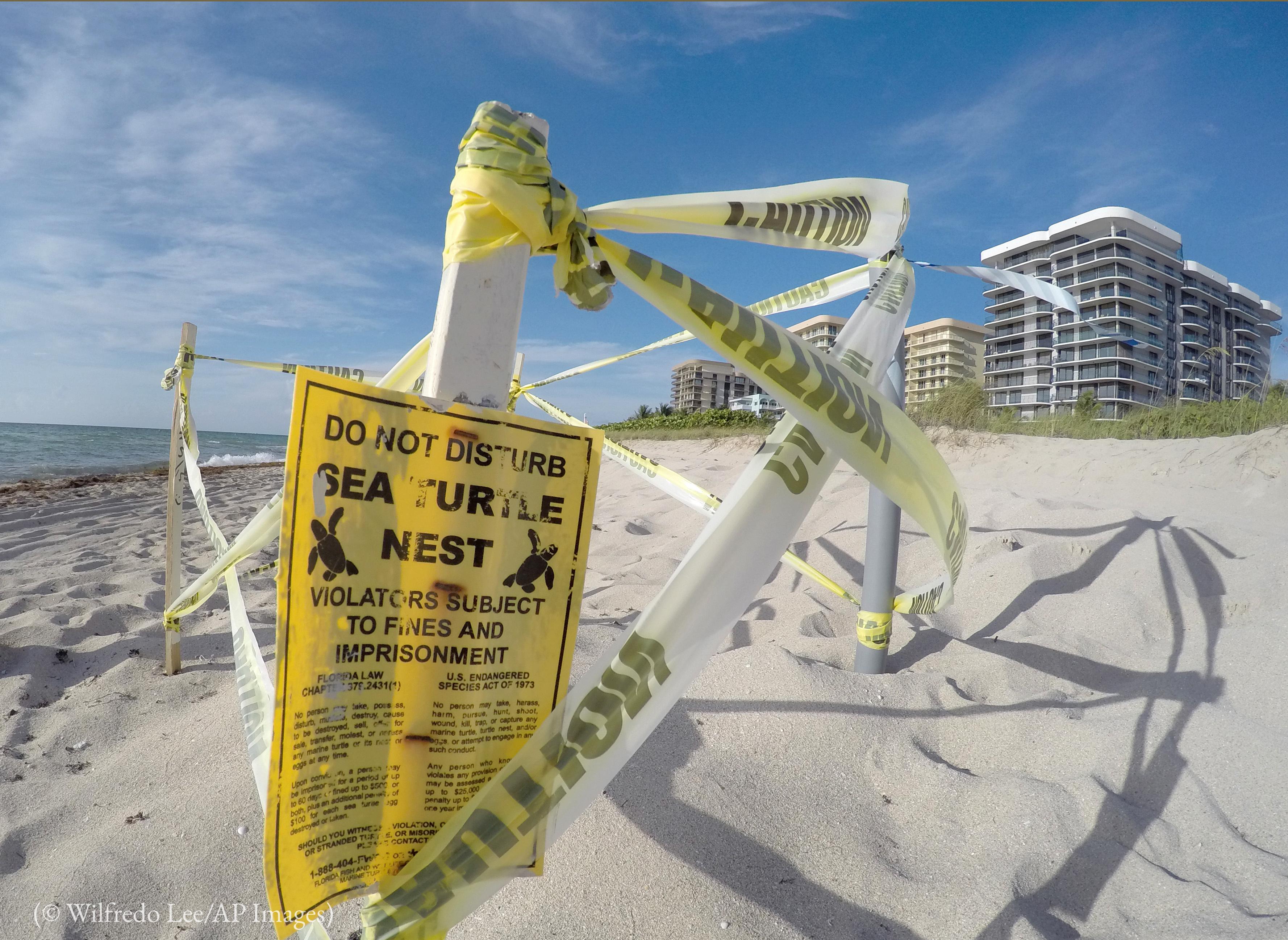 Pedaços de pau cravados na areia envoltos por fita plástica formam uma cerca protetora para um ninho de tartarugas em uma praia (© Wilfredo Lee/AP Images)