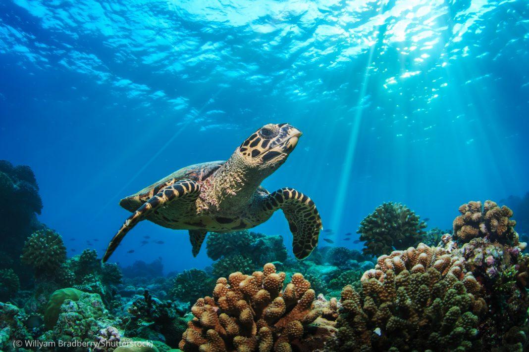 Tortuga marina nadando sobre un arrecife de coral (© Willyam Bradberry/Shutterstock)