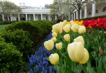 Colorful tulips blooming in the White House Rose Garden (White House/Andrea Hanks)
