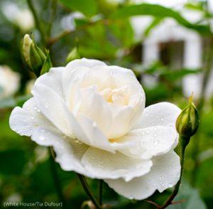 White rose blossom (White House/Tia Dufour)
