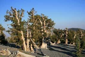 美国内华达山脉里耐旱的高山刺毛松,树龄可以超过五千年。(国家公园管理局)