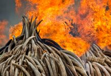 Two towering piles of elephant tusks on fire (© Ben Curtis/AP Images)
