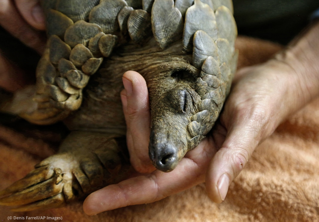 Pangolin resting head in person's hand (© Denis Farrell/AP Images)