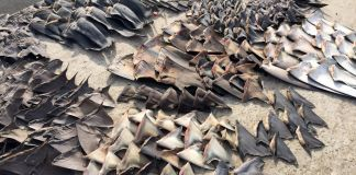 Rows of shark fins on display (© Fiscalia General del Ecuador/AP Images)