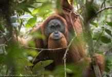 Орангутан на дереве (© Nature Picture Library/Alamy Stock Photo)