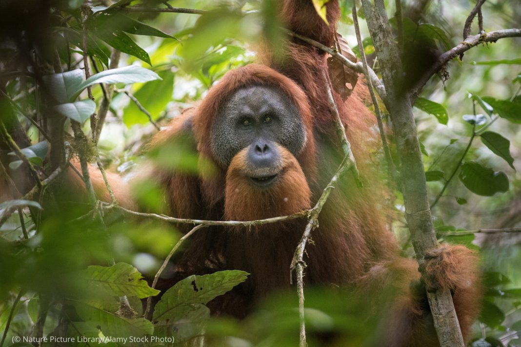 Orangután en un árbol (© Nature Picture Library/Alamy Stock Photo)