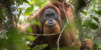 Orangutan in tree (© Nature Picture Library/Alamy Stock Photo)