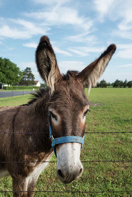 牧场里一头可爱的驴子(国会图书馆)