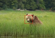 Captura de tela de urso-pardo em uma área ao ar livre com um quadrado sobreposto ao redor da cabeça e um triângulo dos olhos ao nariz (© Melanie Clapham)