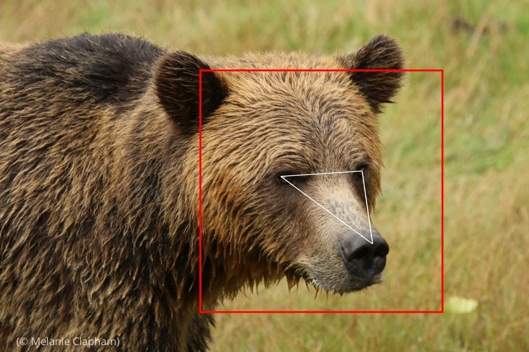 Screenshot of brown bear in field with superimposed square around head and triangle from eyes to nose (© Melanie Clapham)