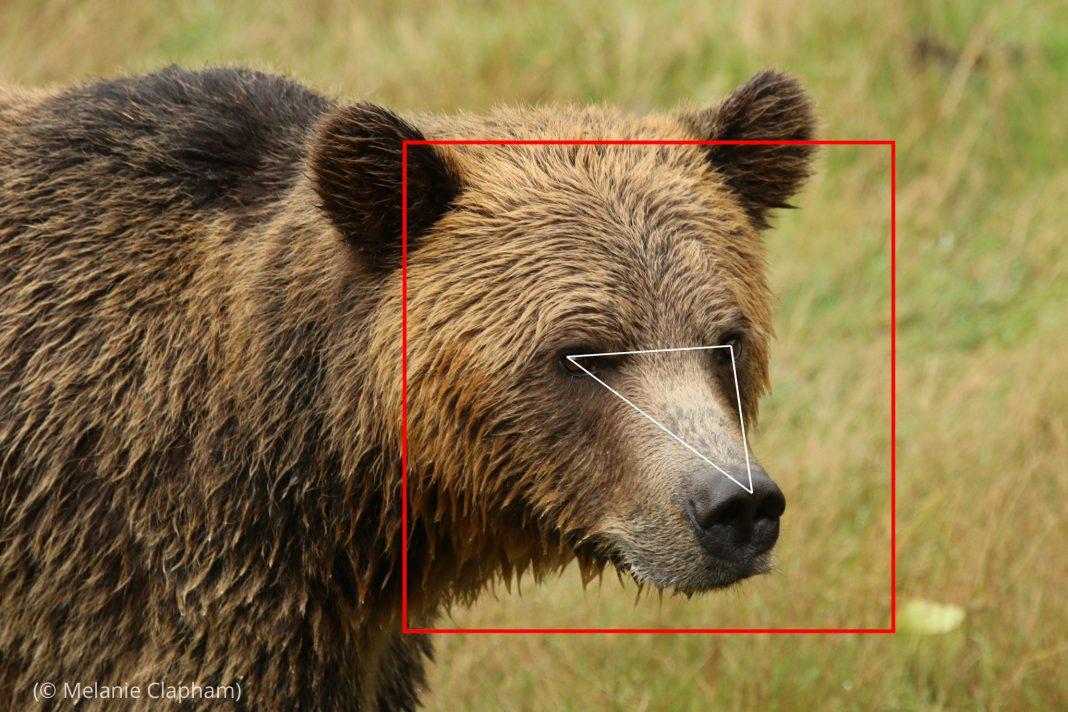 ایک بھورے ریچھ کی تصویر جس کے سر کے گرد ایک مربع اور آنکھوں سے ناک تک تکون بنی ہوئی ہے (© Melanie Clapham)