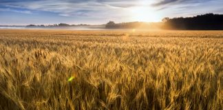Wheat field with sun near horizon (© Ricardo Reitmeyer/Shutterstock)