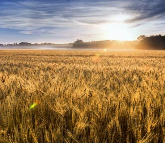 Campo de trigo con el sol cerca del horizonte (© Ricardo Reitmeyer/Shutterstock)